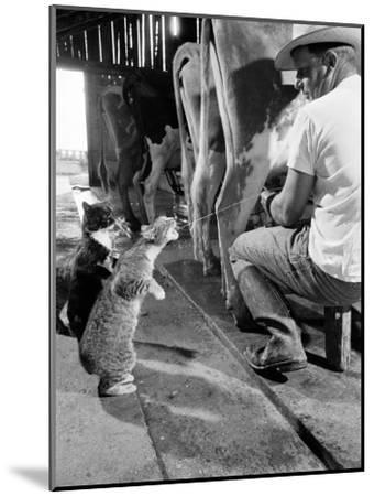 Cats Blackie and Brownie Catching Squirts of Milk During Milking at Arch Badertscher's Dairy Farm-Nat Farbman-Mounted Photographic Print