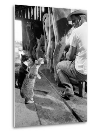 Cats Blackie and Brownie Catching Squirts of Milk During Milking at Arch Badertscher's Dairy Farm-Nat Farbman-Metal Print