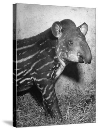 Baby Tapir-Cornell Capa-Stretched Canvas Print