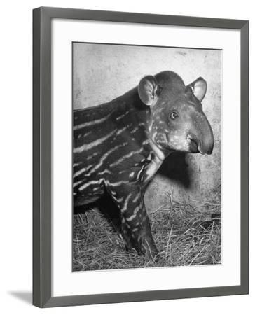 Baby Tapir-Cornell Capa-Framed Photographic Print