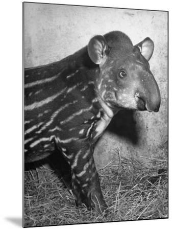 Baby Tapir-Cornell Capa-Mounted Photographic Print
