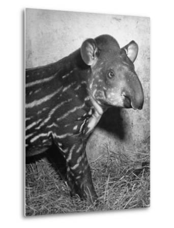 Baby Tapir-Cornell Capa-Metal Print