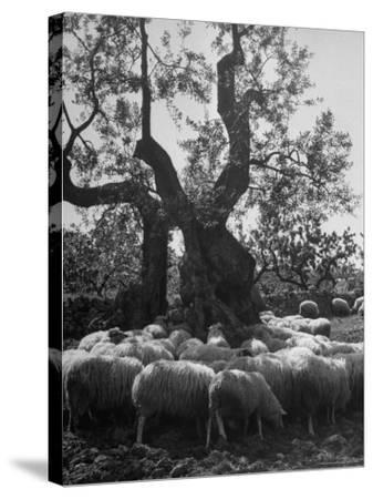 Flock of Sheep under an Olive Tree-Alfred Eisenstaedt-Stretched Canvas Print