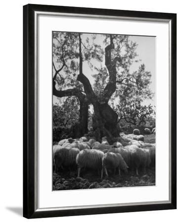 Flock of Sheep under an Olive Tree-Alfred Eisenstaedt-Framed Photographic Print