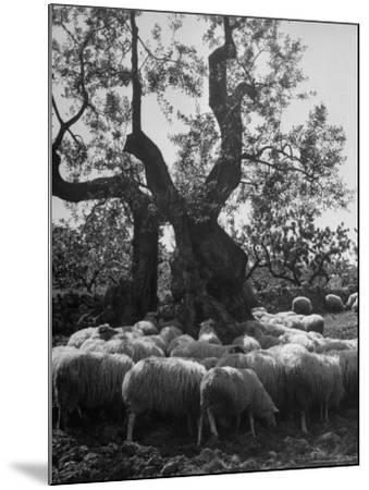 Flock of Sheep under an Olive Tree-Alfred Eisenstaedt-Mounted Photographic Print