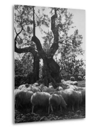 Flock of Sheep under an Olive Tree-Alfred Eisenstaedt-Metal Print