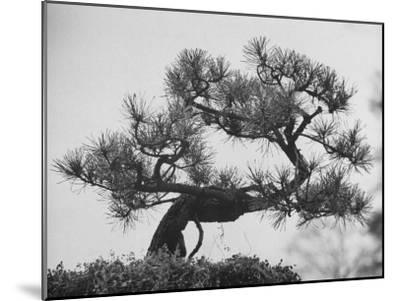 Japanese Pine Trees, Dwarfed and Shaped in Japanese Fashion, at Brooklyn Botanic Garden-Gordon Parks-Mounted Photographic Print