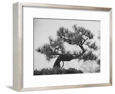 Japanese Pine Trees, Dwarfed and Shaped in Japanese Fashion, at Brooklyn Botanic Garden-Gordon Parks-Framed Photographic Print
