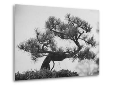Japanese Pine Trees, Dwarfed and Shaped in Japanese Fashion, at Brooklyn Botanic Garden-Gordon Parks-Metal Print
