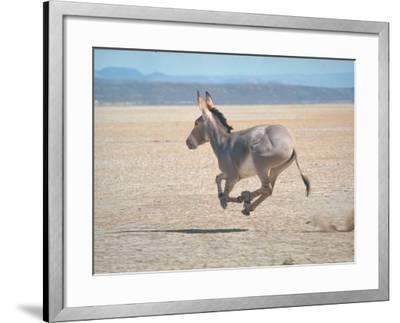 Somali Wild Ass Running Across Parched Soil in Danakil Depression, Near Sardo Village-Carlo Bavagnoli-Framed Photographic Print