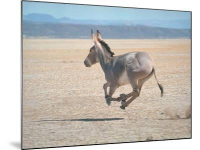 Somali Wild Ass Running Across Parched Soil in Danakil Depression, Near Sardo Village-Carlo Bavagnoli-Mounted Photographic Print