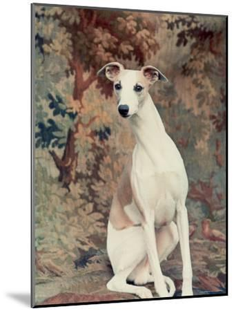 Portrait of Whippet Chosen Best in Show at the 88th Annual Westminster Kennel Club Dog Show-Nina Leen-Mounted Photographic Print