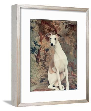 Portrait of Whippet Chosen Best in Show at the 88th Annual Westminster Kennel Club Dog Show-Nina Leen-Framed Photographic Print
