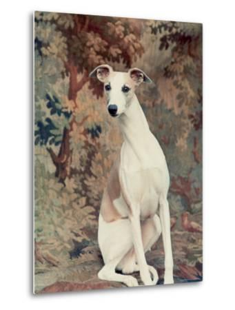 Portrait of Whippet Chosen Best in Show at the 88th Annual Westminster Kennel Club Dog Show-Nina Leen-Metal Print