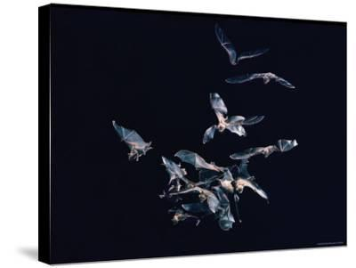 Pack of Spear Nosed Bats in Flight at Yale's Kline Biology Lab-Nina Leen-Stretched Canvas Print