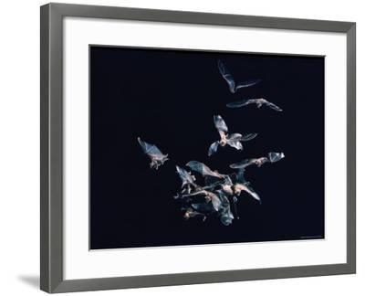 Pack of Spear Nosed Bats in Flight at Yale's Kline Biology Lab-Nina Leen-Framed Photographic Print