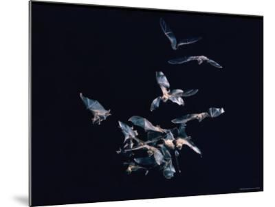 Pack of Spear Nosed Bats in Flight at Yale's Kline Biology Lab-Nina Leen-Mounted Photographic Print