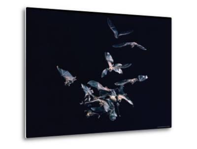 Pack of Spear Nosed Bats in Flight at Yale's Kline Biology Lab-Nina Leen-Metal Print