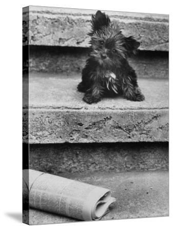 Yorkshire Terriers-Nina Leen-Stretched Canvas Print