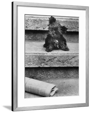 Yorkshire Terriers-Nina Leen-Framed Photographic Print