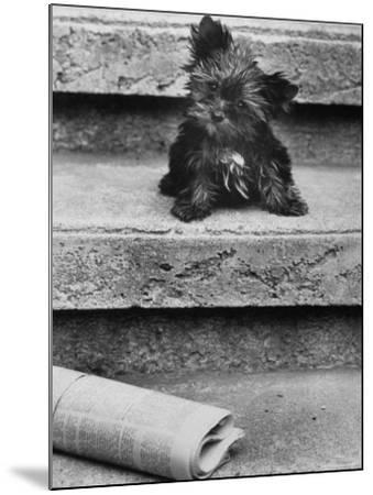 Yorkshire Terriers-Nina Leen-Mounted Photographic Print