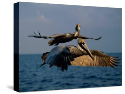 Two Brown Pelicans in Flight over Key Biscayne-Medford Taylor-Stretched Canvas Print