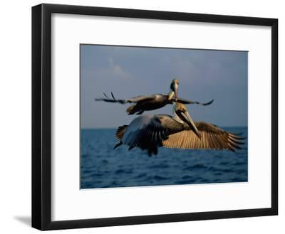 Two Brown Pelicans in Flight over Key Biscayne-Medford Taylor-Framed Photographic Print