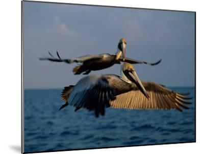 Two Brown Pelicans in Flight over Key Biscayne-Medford Taylor-Mounted Photographic Print