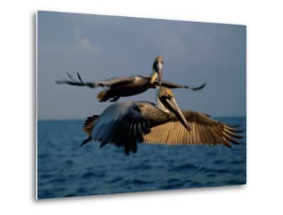 Two Brown Pelicans in Flight over Key Biscayne-Medford Taylor-Metal Print