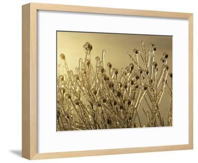 Plants Encased in Ice-Sam Abell-Framed Photographic Print