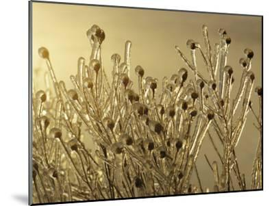 Plants Encased in Ice-Sam Abell-Mounted Photographic Print