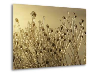 Plants Encased in Ice-Sam Abell-Metal Print