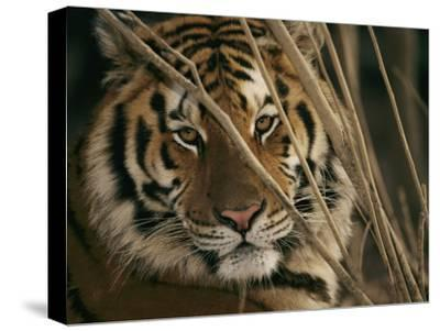 A Captive Tiger Shows a Formidable Expression-Roy Toft-Stretched Canvas Print