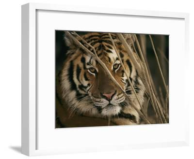 A Captive Tiger Shows a Formidable Expression-Roy Toft-Framed Photographic Print