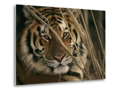 A Captive Tiger Shows a Formidable Expression-Roy Toft-Metal Print