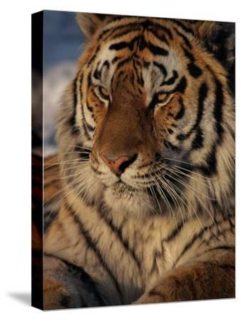 A Close View of a Proud Siberian Tiger-Marc Moritsch-Stretched Canvas Print