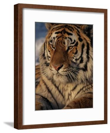 A Close View of a Proud Siberian Tiger-Marc Moritsch-Framed Photographic Print