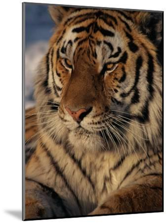A Close View of a Proud Siberian Tiger-Marc Moritsch-Mounted Photographic Print