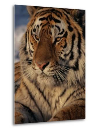 A Close View of a Proud Siberian Tiger-Marc Moritsch-Metal Print