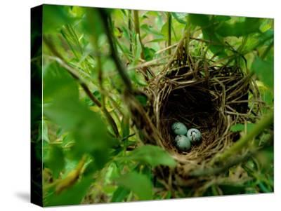 Bird Nest with Eggs-James P^ Blair-Stretched Canvas Print