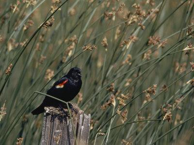 A Red-Winged Blackbird Sits on a Post Amid Tall Grasses-Bates Littlehales-Framed Photographic Print