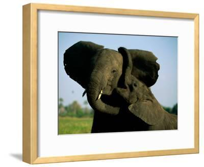 A Young Elephant Wraps its Trunk Around a Friend-Beverly Joubert-Framed Photographic Print