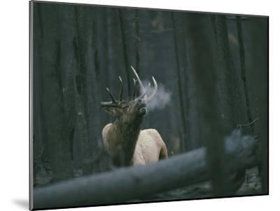 A Bull Elk Bugles, Emitting a Frosty Breath-Michael S^ Quinton-Mounted Photographic Print