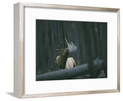 A Bull Elk Bugles, Emitting a Frosty Breath-Michael S^ Quinton-Framed Photographic Print