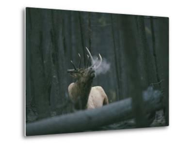 A Bull Elk Bugles, Emitting a Frosty Breath-Michael S^ Quinton-Metal Print