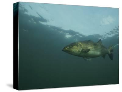 A Striped Bass, Morone Saxatilis, Swims off the Coast-Bill Curtsinger-Stretched Canvas Print