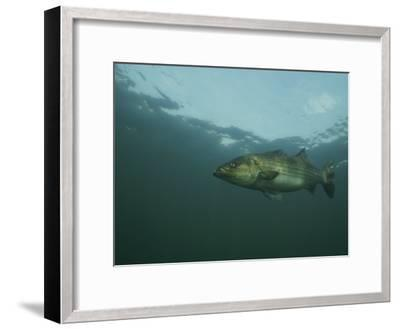 A Striped Bass, Morone Saxatilis, Swims off the Coast-Bill Curtsinger-Framed Photographic Print