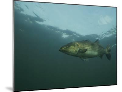 A Striped Bass, Morone Saxatilis, Swims off the Coast-Bill Curtsinger-Mounted Photographic Print