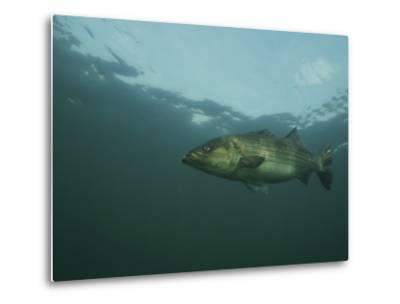 A Striped Bass, Morone Saxatilis, Swims off the Coast-Bill Curtsinger-Metal Print
