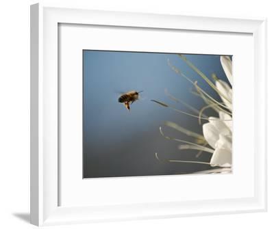 Seen Frozen in Flight, a Bee Carries Pollen Towards a Big White Flower-Stephen St^ John-Framed Photographic Print